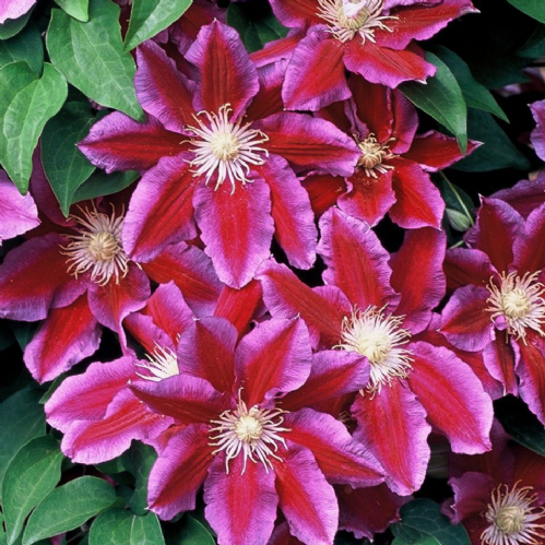 Clematis Hania